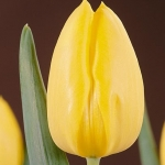 Тюльпаны Фатс Домино