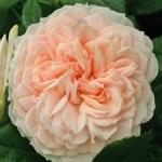 Розы Гарден оф Роузес