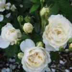 Розы Виндермере