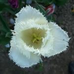 Тюльпаны Ханимун