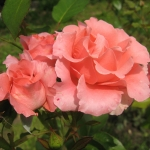 Розы Париж д'Ив Сен Лоран