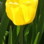 Тюльпаны Жан ван Нес