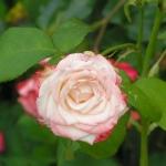 Розы Хессенроуз