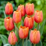Тюльпаны Джимми