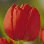 Тюльпаны Стокгольм
