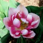 Тюльпаны Мелроуз