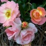 Розы Тамбс ап