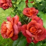 Розы Хот Шоколад