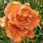 Daylily Mary Brown