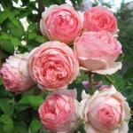 Розы Ферст Леди