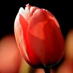 Тюльпаны Шугар Лав