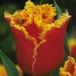 Тюльпаны Ниппон