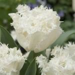 Тюльпаны Эстафета