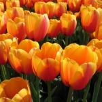 Тюльпаны Уорлд Пис