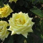 Розы Сансилк