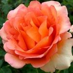 Розы Фантазиа Мундиале