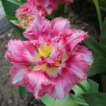 Тюльпаны Криспон Лав