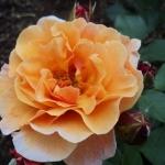 Розы Арабиа