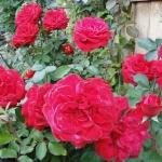 Розы Марсельеза