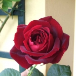 Розы Папа Мейян