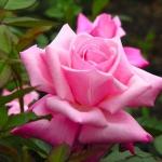 Розы Баттерфлайс Кавер