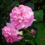 Розы Лавендер Лесси