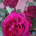 Розы Блэкберри Нип