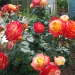 Розы Бредфорд