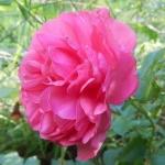 Розы Элмсхорн