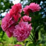 Розы Антон аус Тирол Виталроуз
