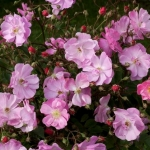 Розы Лавендер Дрим