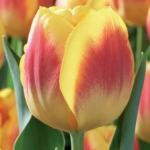 Тюльпаны Бриджитта