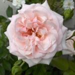 Розы Грациоза