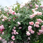 Розы Джеймс Галуэй