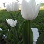 Тюльпаны Дарви Сноу