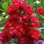 Розы Алберих