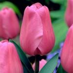 Тюльпаны Алиби