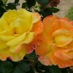 Розы Найт Лайт