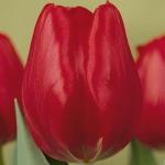 Тюльпаны Руби Ред