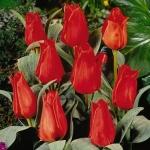 Тюльпаны Анни Саломонс