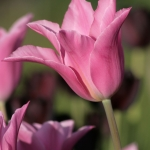 Тюльпаны Чайна Пинк