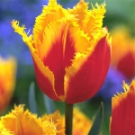 Тюльпаны Пальмарес