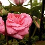 Розы Ривиеренхоф