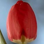 Тюльпаны Дипломат