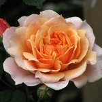Розы Пол Бокуз