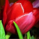Тюльпаны Ред Пауэр