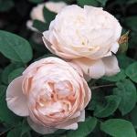 Розы Кантри Ливинг