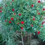 Розы Скарлет Хит