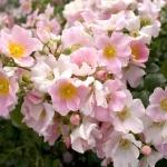 Розы Пинк Бассино