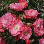 Розы Мичел Брас